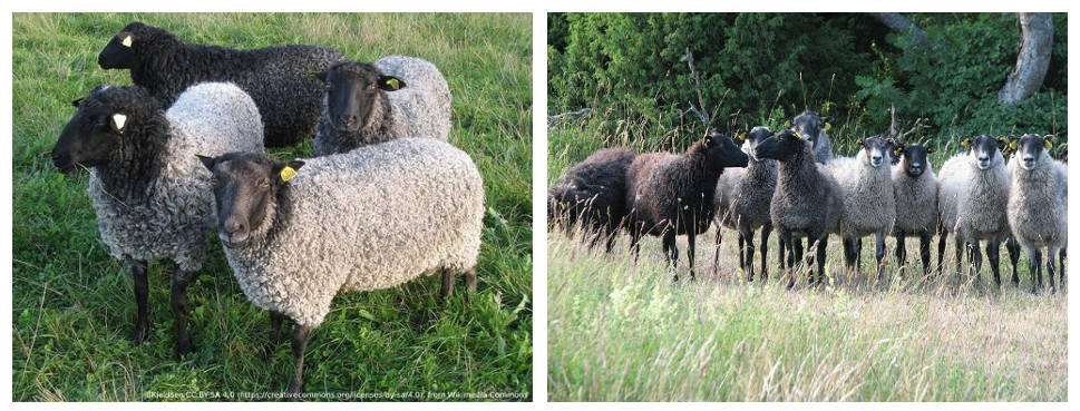 Know Your Sheep – Gotland - image Gotland_001 on https://knitting-crocheting-yarn.com