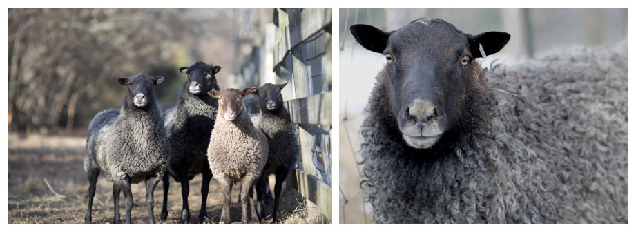 Know Your Sheep – Gotland - image Untitled on https://knitting-crocheting-yarn.com